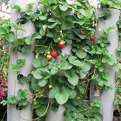 AUTFIT 100pcs Große Erdbeere Same Kletter-Erdbeere Samen Erdbeer-Samen Garten Erdbeer-Bio-Samen Erdbeeren im Garten