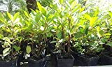 Lauroceraso Pianta in Vaso di Lauroceraso Laurocerasus - 10 Piante in vaso 7x7