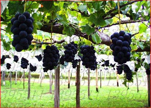 50pcs/sac pépins de raisin rare graines de fruits, raisins bio Heirloom de croissance naturelle, plantes en pot bonsaï pour le jardin à la maison