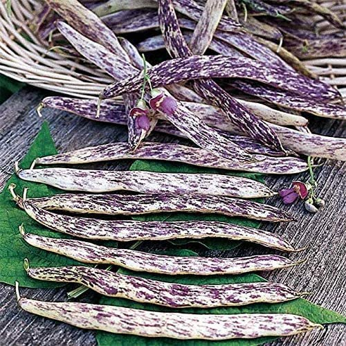 Dragon Langerie Bush Bean Seeds 25 Premium Heirloom Seeds Exotic Colors Fun Addition to Your product image