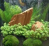Mühlan - Anti-Algen-Set, 5 schnellwachsende Pflegeleichte Sorten + 2...