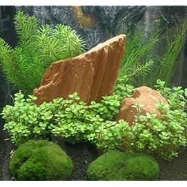 Mühlan Anti-Algen-Set, 5 schnellwachsende pflegeleichte Sorten + 2 Mooskugeln
