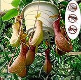 KINGDUO Egrow 20Pcs/Pack Rare Nepenthes Seeds Balcony Garden Potted Plants Graines Graines De Plantes Carnivores Graines
