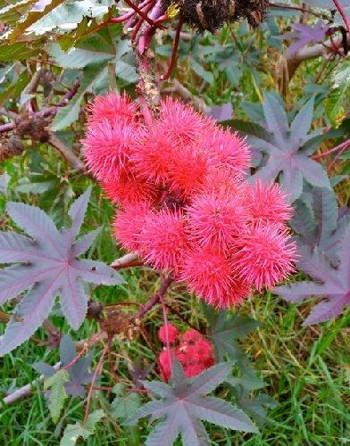 Tropica - Ricinus 'Carmencita Red' (Ricinus communis 'Carmencita Red') - 10 Samen