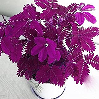 Seed House-KOUYE 50pcs Mimosa Seeds Sensitive Plant (Mimosa Pudica) Colorful Shy Grass Seeds,
