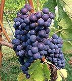 Cabernet Sauvignon CL8 Wine Grape Vine - Plantable Year Round!
