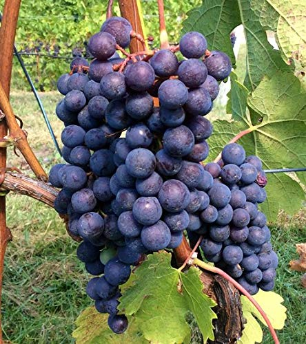 Cabernet Franc Wine Grape Vine - Plantable Year Round