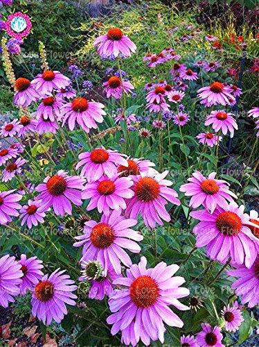 50PCS Rare orange Graines Echinacea vivace Graines de fleurs échinacée Showy Beaucoup-doublé capitules Plante en pot pour le jardin 6