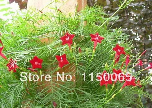 Hot vente 1 Paquet / lot Cypress Vine Seeds cinq branches graines Étoiles Fleurs Bonsai Graines bricolage jardin Livraison gratuite