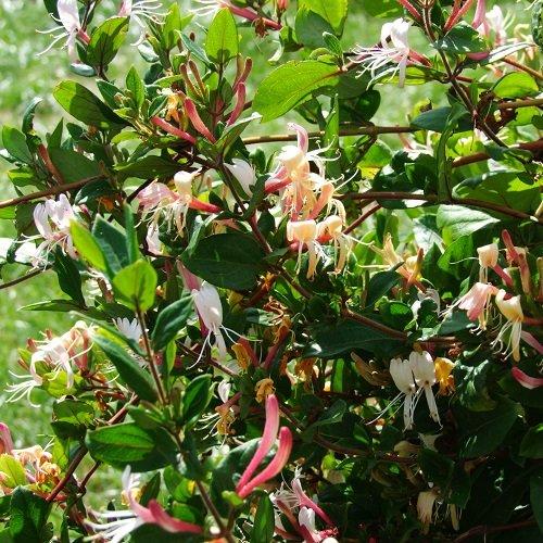 Geissblatt Red World (Lonicera) Kletterpflanze/rot-orange & Winterhart - 1,5 Liter Topf - ClematisOnline Kletterpflanzen & Blumen