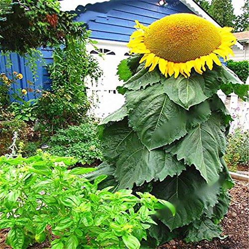 Qulista Samenhaus - 20/50pcs Selten Riesen Sonnenblumen Helianthus Sonnenblumensaat Blumensamen als Schnittblumen mehrjährig winterhart für Vögel