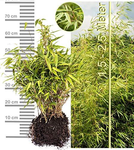 Schirmbambus Fargesia rufa in extrastarker Solitärqualität! Für Garten, Kübel, Trog, Beet & Terrasse; Bambus als Sichtschutz, Bambushecke in der modernen Gartengestaltung (1 Stk, Midiballen)