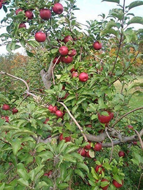 Rome Tree - Semi- - Healthy - Established - One Gallon Pot - 1 Plant