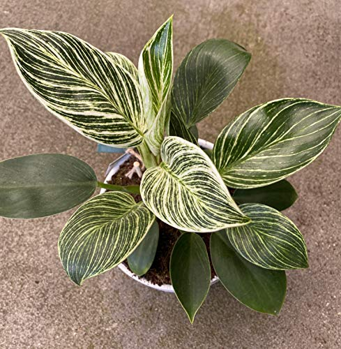 """Philodendron Birkin Rare Live Plant Indoor Air Purifier House Plant, 6"""" Grower's Pot"""
