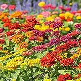 Zinnia Flower Garden Seeds - State Fair Mix - 500 Seeds - Annual Flower Gardening Seed - Zinnia elegens