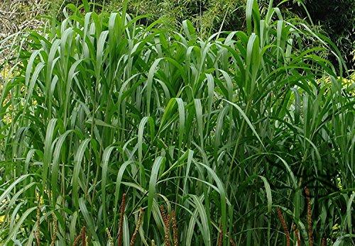 Ornementaux Miscanthus sinensis Graines 1000pcs, Famille Poaceae chinoise Argent Semences à gazon, floraison vivace Eulalia Semences à gazon