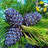 GETSO Samen-Paket: 5+ Seeds: Kiefer Pinus Cembra Sibirica 5,10,20 Seeds