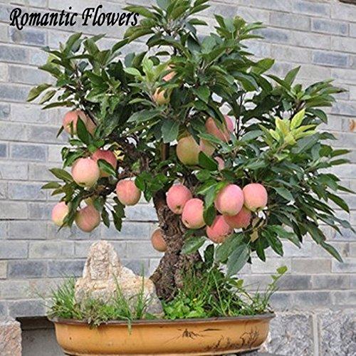 Tree Trial produit Bonsai Seeds 30 Pcs d' Seeds (Utilisé humide Sable Germination) Fruit Bonsai Jardin En Pots de fleurs Pots