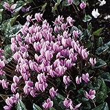 Ideale per piante in vaso Splendidamente marmorizzato fogliame con fiori in bianco o rosa pallido Ampiamente coltivato winter-flowering vaso piano preferisce pieno sole o mezz' ombra Media altezza: 10–20cm