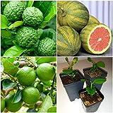 Kaffir Lime Tree - Key Lime Tree - Eureka Lemon Tree Lịve Plạnt Seedlings