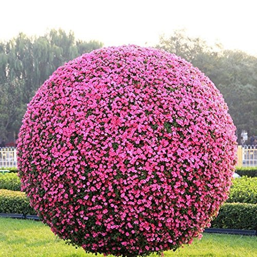 SwansGreen Buxus seeds boxwood bonsai seeds variety complete, germination rate of 95% 50 pcs