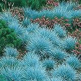 Perennial Grass Seeds