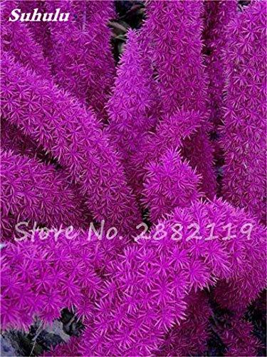 120 Pcs rares Wu bambou sétaire semences de plantes ornementales Bonsai herbes Plantes vivaces Jardin intérieur Graines en pot air frais facile à cultiver 7