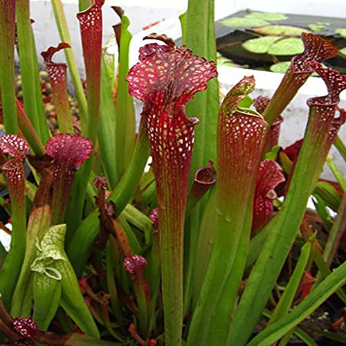 C-LARSS 120 Stück Nepenthes Samen, Eingetopfte Fleischfressende Pflanzen Blumenfang Insekten Bonsai