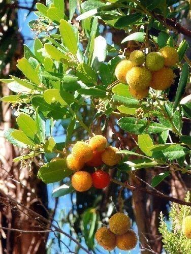TROPICA - Erdbeerbaum (Arbutus unedo) - 100 Samen