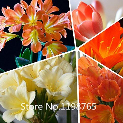 Clivia graines de fleurs Graines bonsaï jardin de fleurs à domicile bricolage 49% de vente chaude