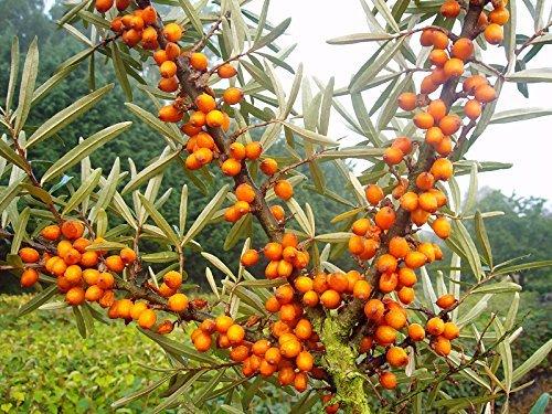 Sanddorn Busch-Baum Friesdorfer Orange leicht säuerlich 50-60 cm orange-rotes Beerenobst Wildobst 1 Pflanze