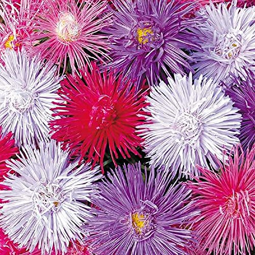 Lot de 50 graines de Reine marguerite Nova Mix - plantes annuelles