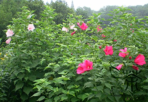 Plante ornementale Graines Hibiscus moscheutos 200pcs, Graines Brillant Coloré Rose Mallow Fleur, Graines Beautifying ketmie des marais
