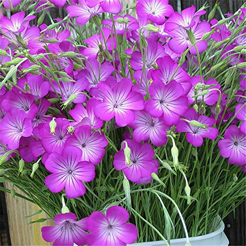 Corncockle Seeds 20pcs Agrostemma Githago Organic Wildflower Flower Fresh Plants Seeds for Planting Garden Yard Home