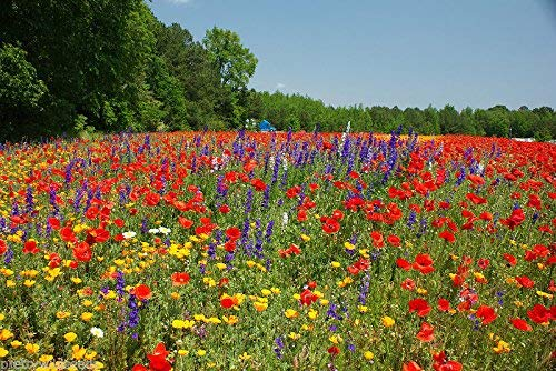 1kg Meadow Wild Flower Seeds All Soil Types by Pretty Wild Seeds 50/50 Mix 27