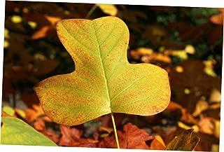 LZAA 1 Pcs Medium Tree Seedling Tulip Poplar - RK298