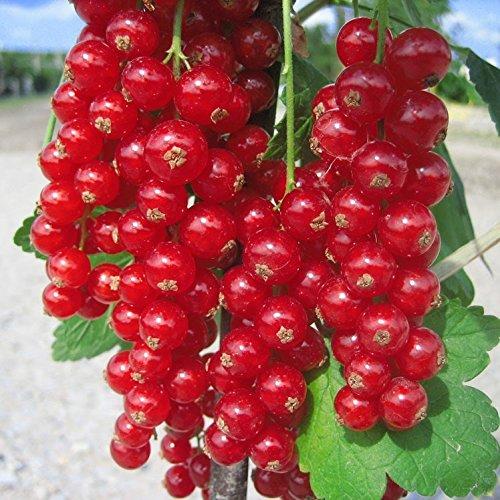 Müllers Grüner Garten Shop Rovada, rote Johannisbeere, Hochstamm, sehr aromatisch, ca. 80-90 cm Stamm im 4-5 Liter Topf