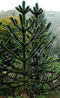 Exotic Plants Araucaria araucana - monkey puzzle - monkey tail tree - 3 seeds