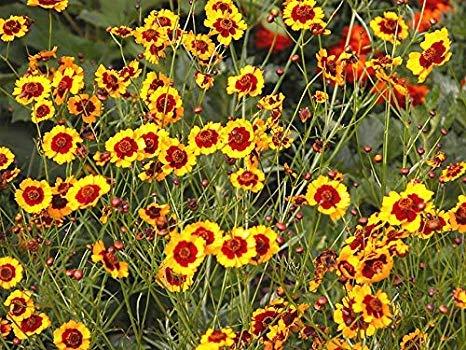 1 oz Seeds of Coreopsis tinctoria 'Dwarf Red', Dwarf RED Plains Coreopsis