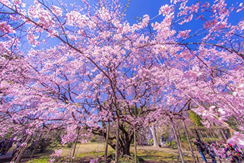 Weeping Cherry Tree Seeds for Planting | 10+ Seeds | Highly Prized for Bonsai, Weeping Cherry Tree - 10+Seeds - Outdoor Flowering Tree