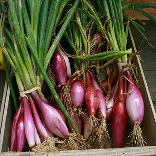 100pcs ail graines rouges et sain Bonsai Graines Diy plantes rares oignon Garlics Graines de légumes très facile pour l'armée Cultivez Maison et jardin vert