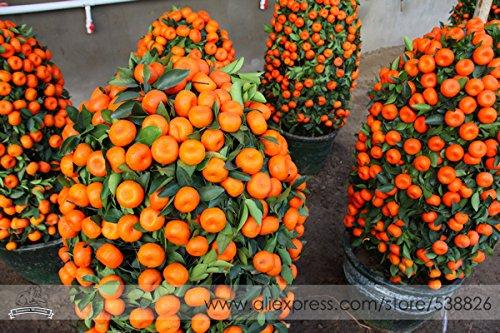 Petits pot comestibles Graines Bonsai orange bio, pack professionnel, 20 graines / Pack, Tasty doux fruits d'ornement Plantes d'intérieur