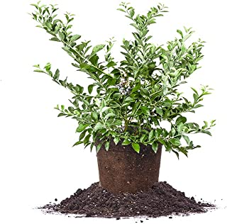 Perfect Plants Tifblue Blueberry Live Plant, 1 Gallon, Includes Care Guide