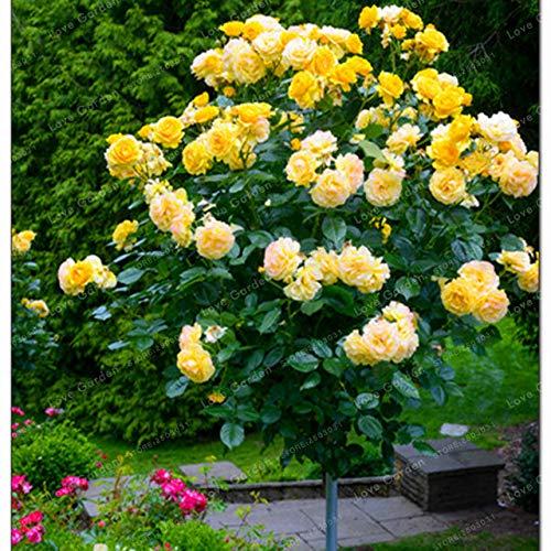 Bloom Green Co. Vente chaude 50 Pcs Rare Rose Tree Bonsai chinois Belle bricolage Home Jardin Balcon Jardin Belle pot de fleur plante facile à cultiver: 5