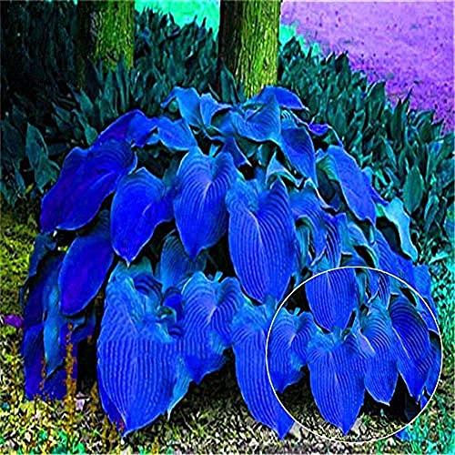50 pièces Belles graines de Hosta Plantaginea vivaces parfumées Lily pour la décoration de jardin à la maison graines de fleurs pour la plantation de fleurs