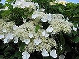 300 seeds Climbing Hydrangea Seeds (HYDRANGEA anomala Petiolaris) Vine/Climber,Groundcover