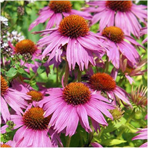 种子需要,紫松果花(紫锥菊)两包,每包500粒种子