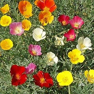 Non GMO Bulk California Poppy Seeds - Mixed Colors Eschscholzia californica 234,000 Seeds (1 lb)