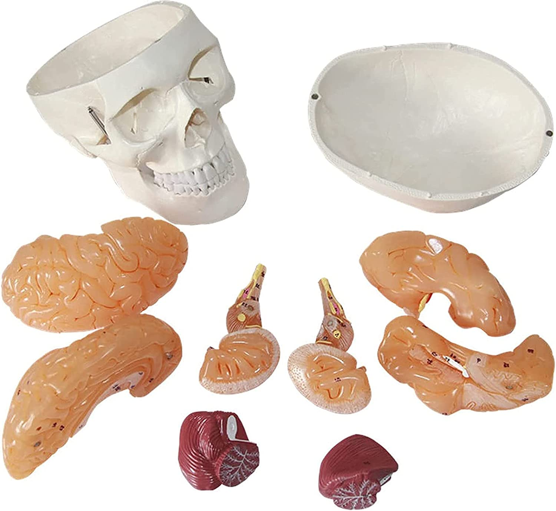 tjz Modelo De Cerebro Adjunto De CráNeo Humano Modelo AnatóMico De CráNeo De Adulto con Esqueleto OrtopéDico ExtraíBle Digital Modelo De AnatomíA De TamañO Natural De 8 Partes para El Aula