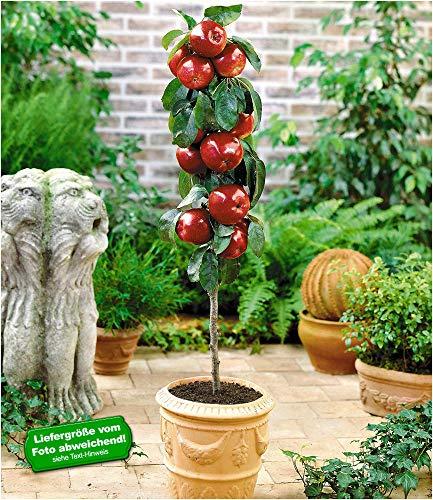 BALDUR Garten Befruchtersorte Apfel \'Gala\', 1 Pflanze Säulenapfel Säulenobst winterhart